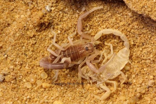 Androctonus amoreuxi instar III