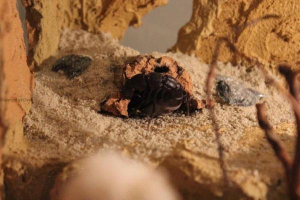 Androctonus bicolor trächtig