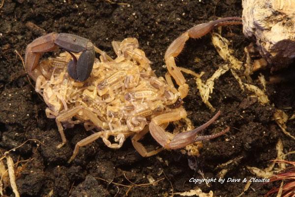 Tityus ecuadorensis mit instar II Nachzuchten