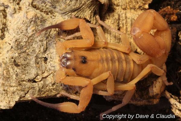 Babycurus jacksoni 0.1 instar VI adult