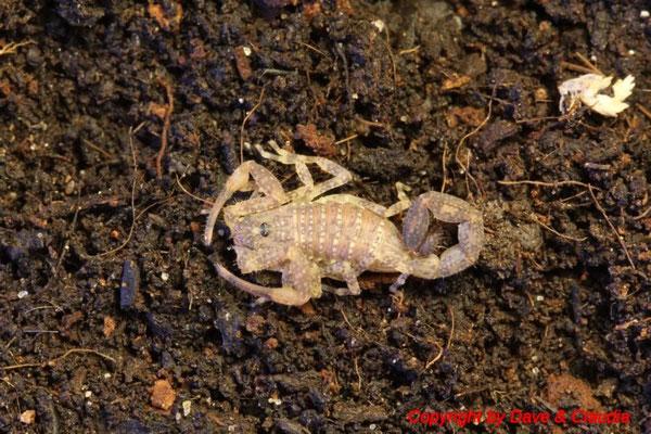 Tityus forcipula instar III