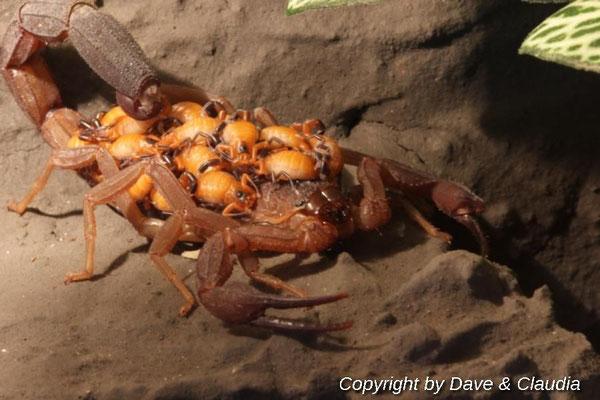 Rhopalurus junceus mit Nachwuchs