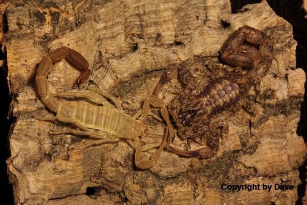 Tityus gaffini instar IV nach Häutung