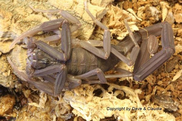 Centruroides nigrescens instar VII adult nach Häutung