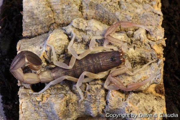Centruroides magaritatus instar V nach Häutung