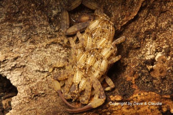 Isometrus maculatus mit Nachzuchten