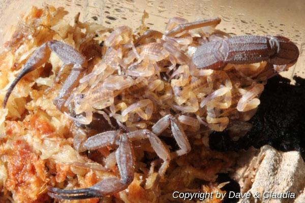 Babycurus jacksoni dark morph mit Nachwuchs