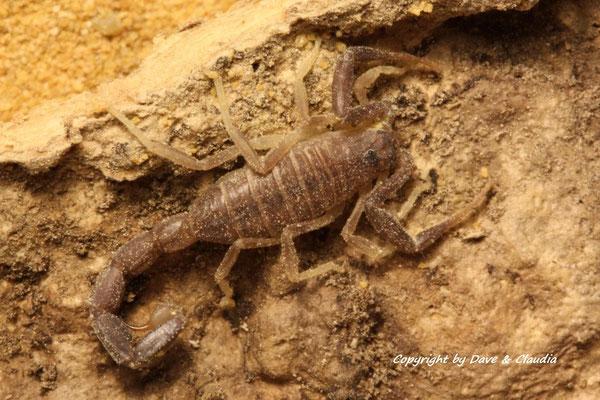 Androctonus liouvillei instar III