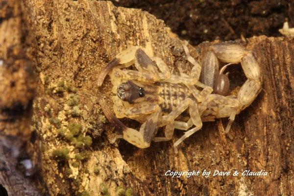 Lychas mucronatus 0.1 instar V
