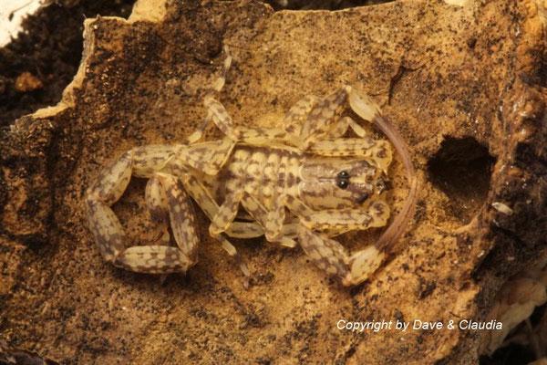 Isometrus maculatus 0.1 instar VI