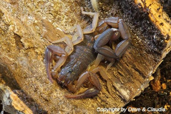 Centruroides magaritatus instar V