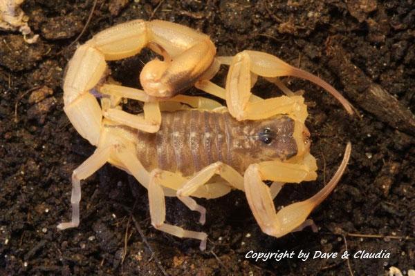 Tityus serrulatus instar VI