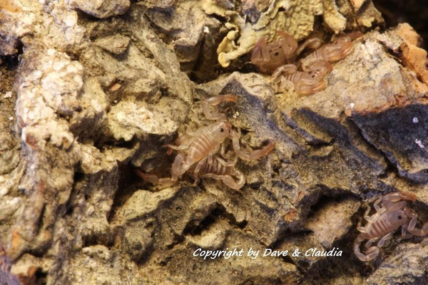 Euscorpius tergestinus instar II