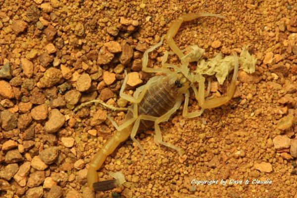 Leiurus quinquestriatus instar II