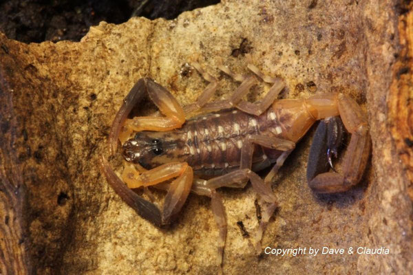 Lychas scutilus instar IV