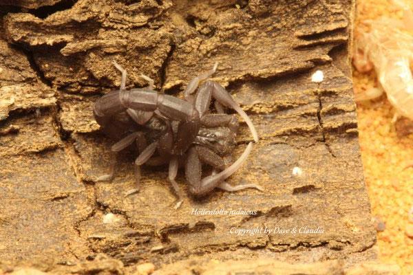 Hottentotta judaicus instar III