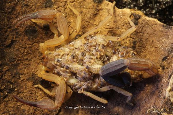 Tityus ecuadorensis mit instar I Nachzuchten
