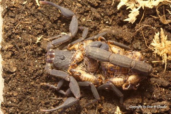 Centruroides limbatus dark morph mit instar I