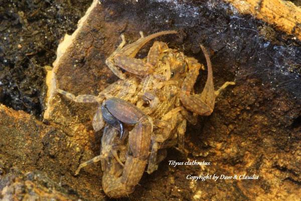 Tityus clathratus mit Nachzuchten im instar II