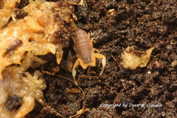 Tityopsis inaequalis instar II