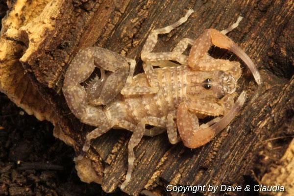 Tityus forcipula instar IV nach Häutung