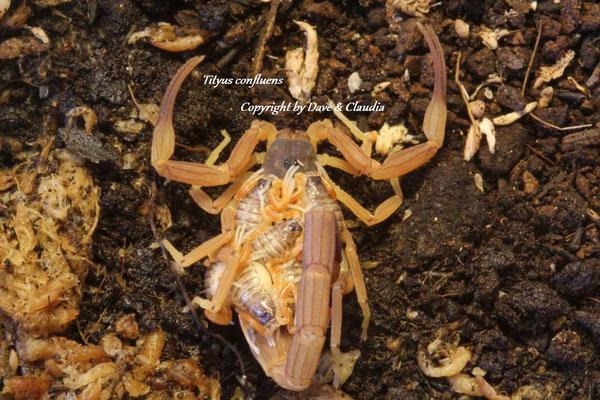Tityus confluens mit Nachzuchten instar I