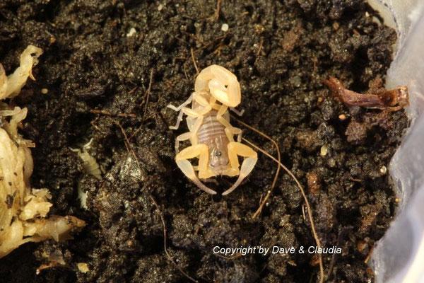 Tityopsis inaequalis instar III