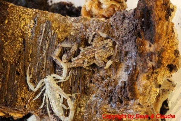 Isometrus maculatus instar IV