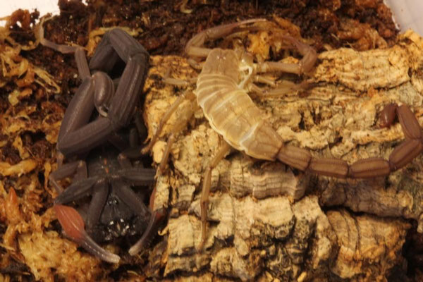 Centruroides gracilis dark morph 1.0