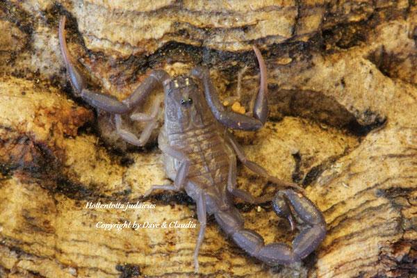 Hottentotta judaicus instar II