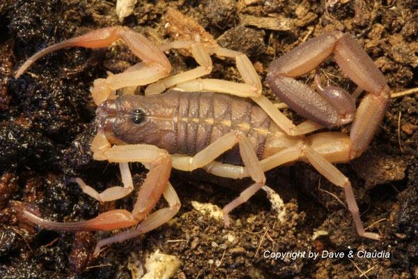 Centruroides gracilis Florida morph instar V