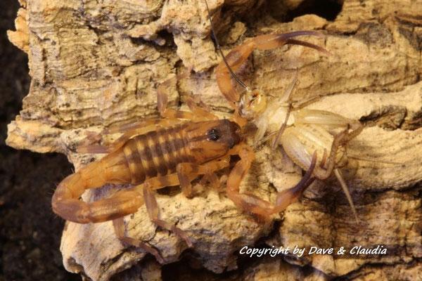 Babycurus jacksoni instar III