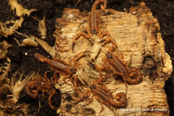 Babycurus jacksoni instar II Fütterung