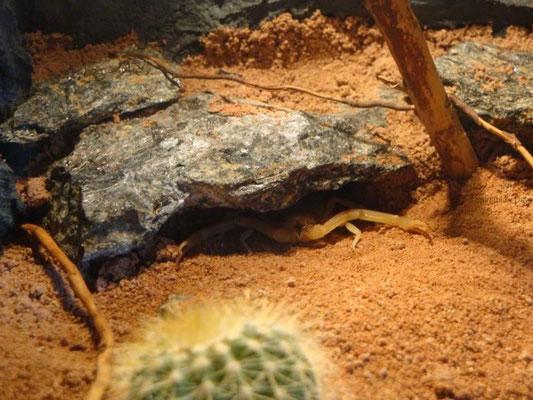 Leiurus quinquestriatus auf der Lauer