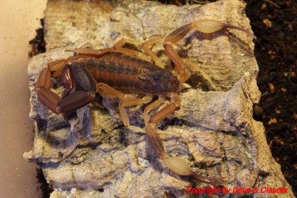 Tityus trivittatus adult