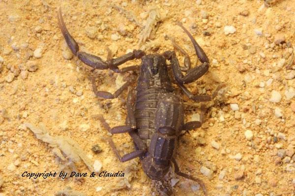Androctonus mauritanicus instar VI