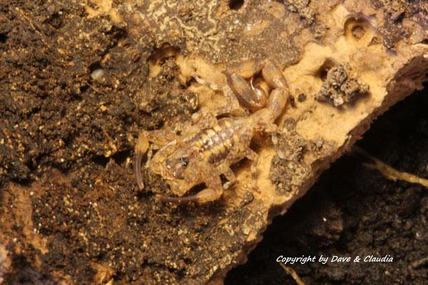 Tityus smithii instar III