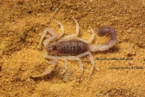 Parabuthus raudus dark morph instar III