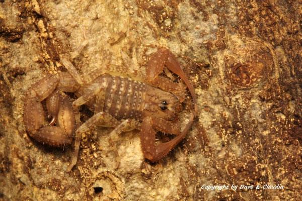 Tityus magnimanus instar IV