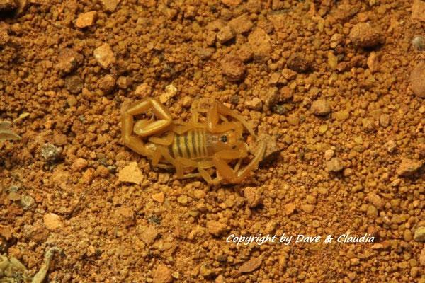 Centruroides sculpturatus instar III