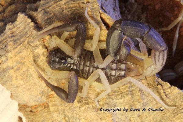Hottentotta jayakari jayakari instar VI