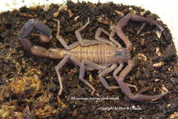 Rhopalurus junceus dark morph 0.1 instar VI