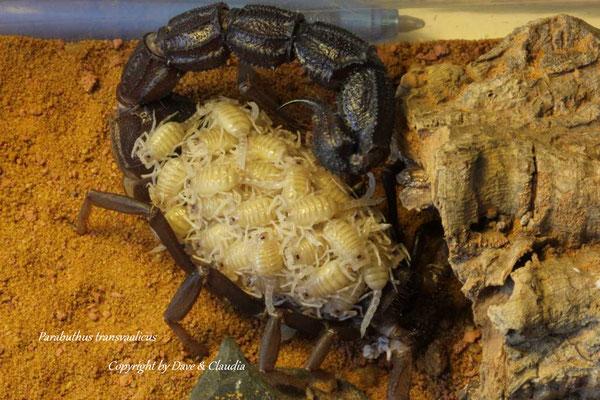 Parabuthus transvaalicus mit Nachzuchten im instar I