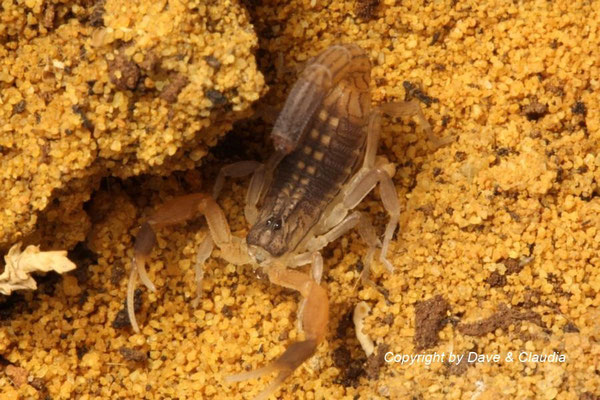 Hottentotta hottentotta instar IV