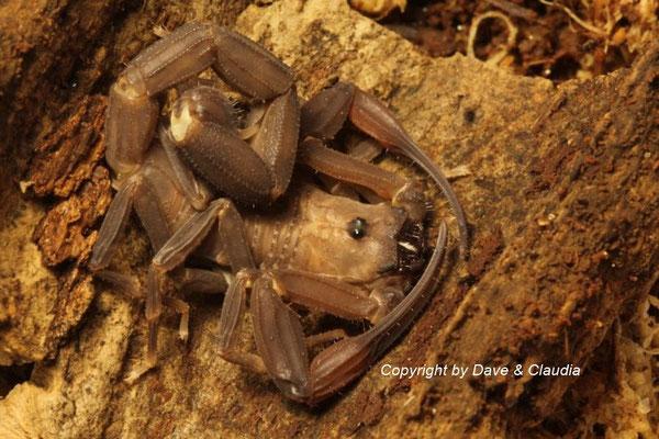 Tityus obscurus instar VI