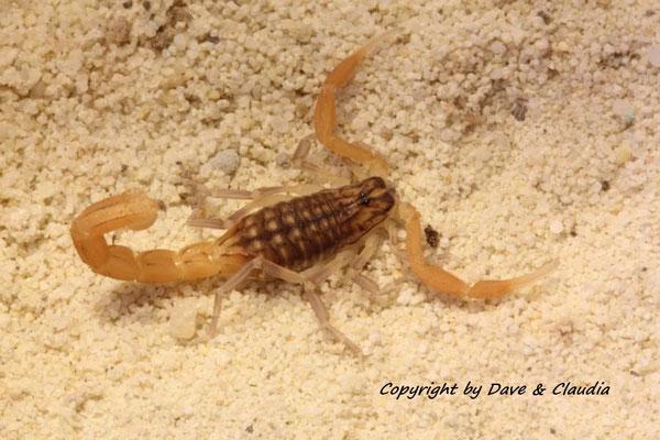 Mesobuthus gibbosus instar IV