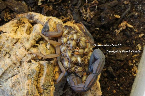 Centruroides edwardsii mit Nachzuchten instar I