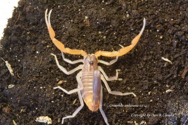 Grosphus ankarana 0.1 instar IV