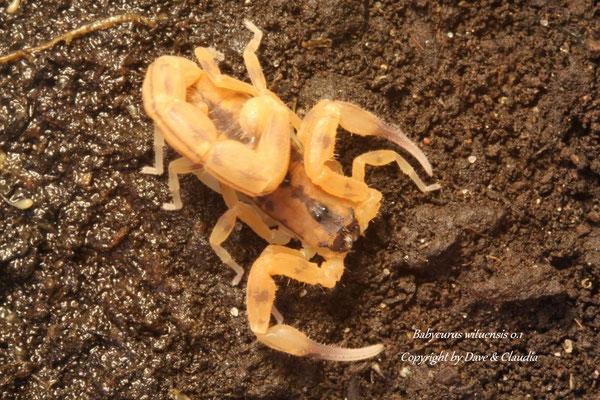 Babycurus wituensis wituensis instar V
