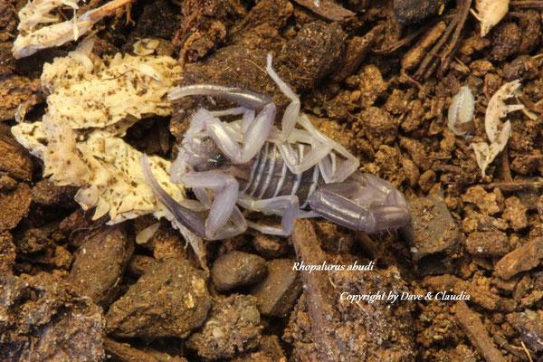 Rhopalurus abudi instar III
